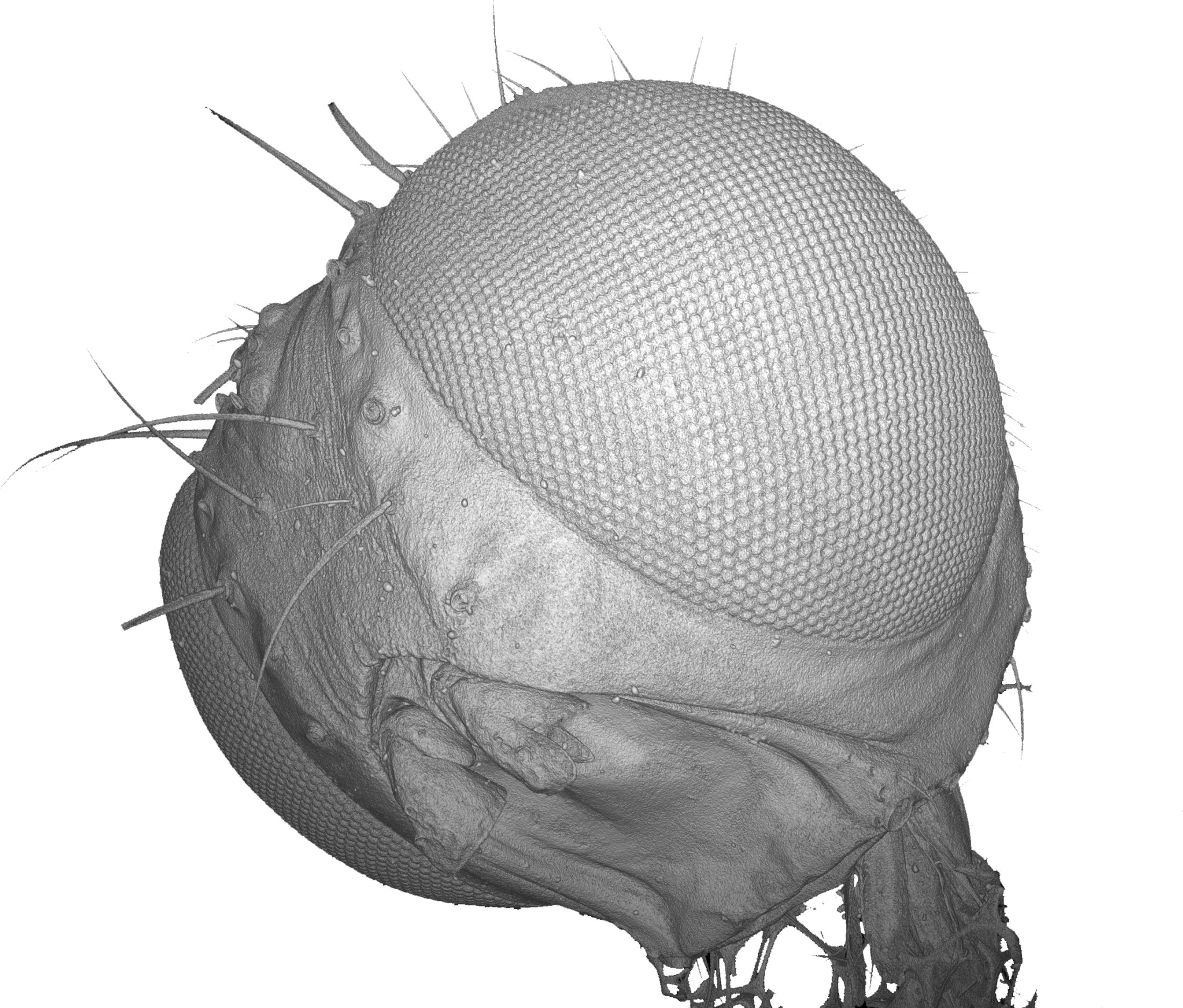 3D CT-reconstruction of an insect's head (Nyrmea kervillea) for investigation of the finest structures of microscopic biological samples. Normal scan (0.8 µm / 45 min): 3D CT-reconstruction of an insect's head (Nyrmea kervillea) for investigation of the finest structures of microscopic biological samples. Normal scan (0.8 µm / 45 min)
