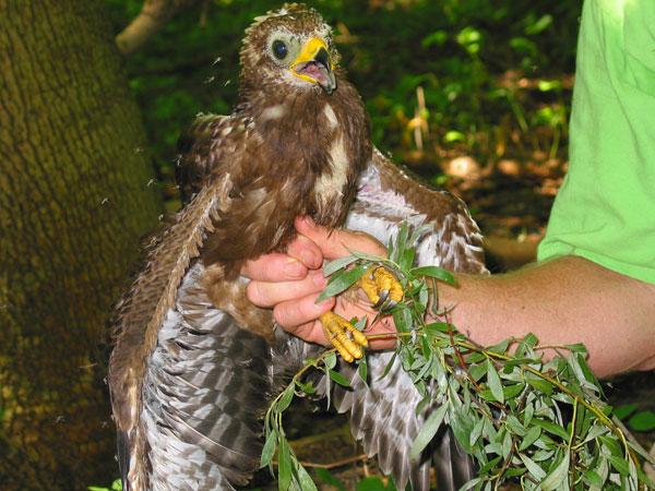 einheimischer greifvogel 9 buchstaben
